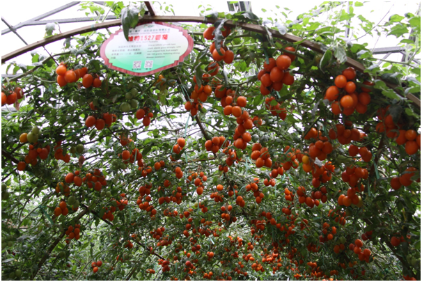 Weifang is an important base innovation in vegetable seed industry.