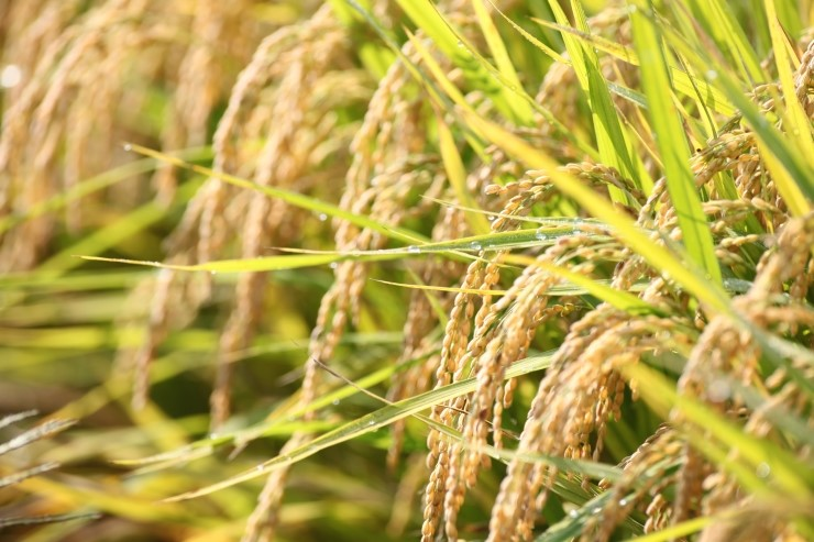 S. Korean Government Planning to Give Rice to Overseas Countries as Aid