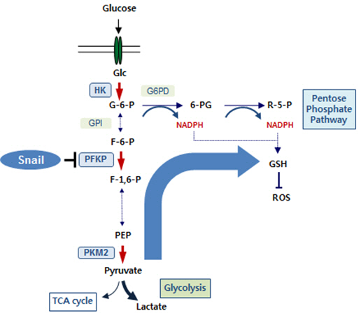 Snail regulates glycolytic activity via repression of phosphofructokinase platelet (PFKP) and the suppression of PFKP switches the glucose flux towards the pentose phosphate pathway (PPP).