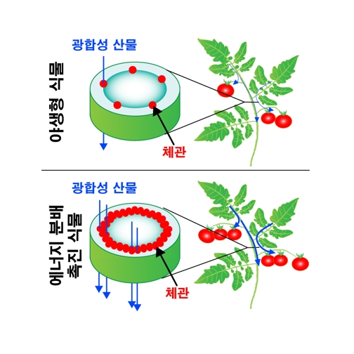Wild plants (above) and plants that promote increased energy distribution (below). The use of stem genes, which control the development of sieve tubes, can increase the number of sieve tubes. This process promotes energy distribution within plants and increases plant productivity.